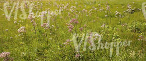 meadow with valerian plants