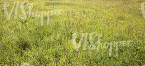 wild grass and flowers on a meadow