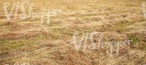 cut hay lying on a field