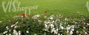 green lawn with roses in the foreground