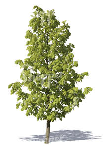 cut out young linden tree