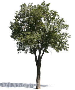 cut out medium ash tree