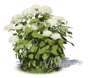cut out garden plant with big white blossoms