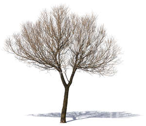 cut out medium size bare tree