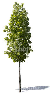 cut out small linden tree