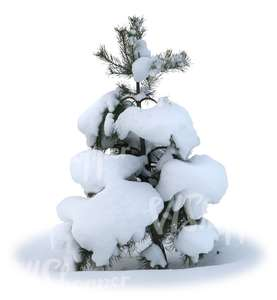 cut out small snowy fir