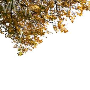 cut out maple branch with yellow leaves