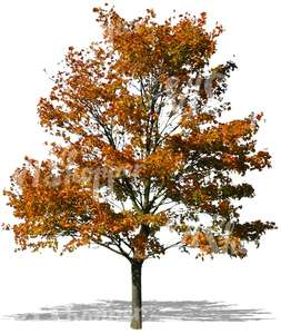 cut out maple tree with yellow autumn leaves