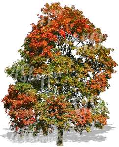 big maple tree with colorful autumn leaves
