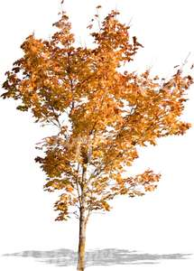 small tree with autumn leaves