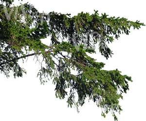 cut out spruce branch