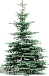 cut out silver spruce