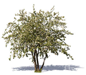 cut out blooming apple tree
