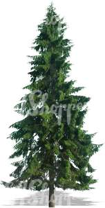 cut out spruce