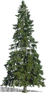 cut out tall fir tree
