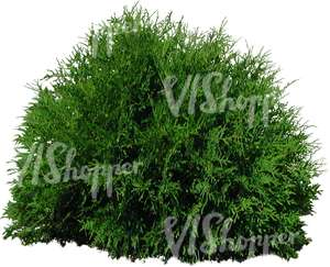 cut out small round thuja