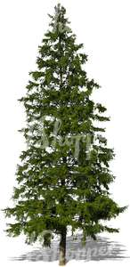 cut out big spruce tree