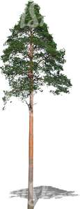 cut out tall evergreen tree