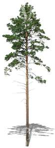 cut out tall and thin pine tree