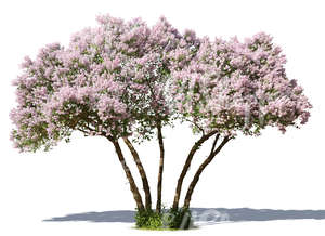 cut out big lilac in full bloom