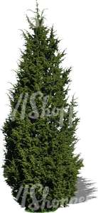 cut out juniper