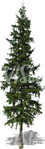 cut out tall spruce