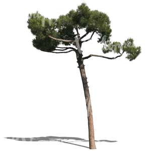 cut out small pine