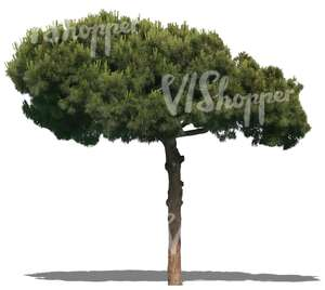 cut out conifer
