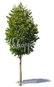 cut out small deciduous tree