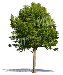cut out medium size linden tree in direct sunligt