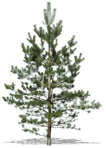 cut out young pine tree