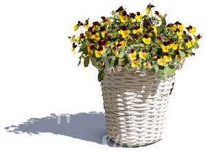 cut out blooming pansy in a white pot