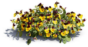 cut out blooming garden pansy