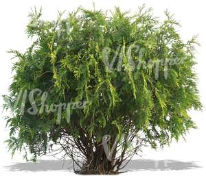 cut out small thuja