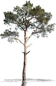 cut out medium pine tree