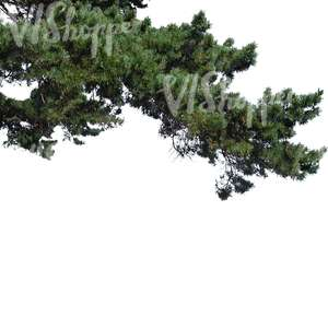 cut out thick pine branch