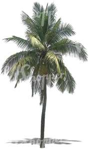 cut out palm tree with big leaves