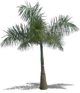 cut out medium heigh palm tree