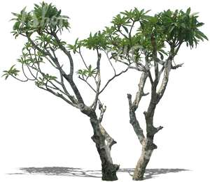 two cut out tropical trees