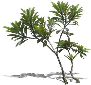 cut out thin tropical tree