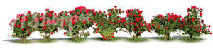 cut out rose bush hedge
