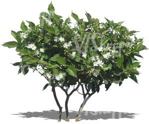 cut out tropical bush with white blossoms