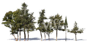 cut out group of evergreen trees