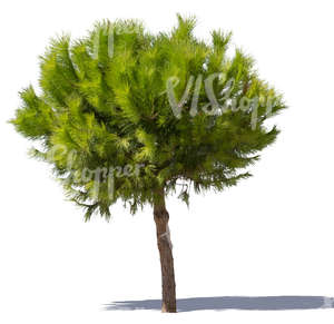 cut out bright green pine tree