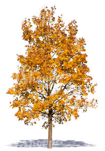 cut out maple with yellow autumn leaves
