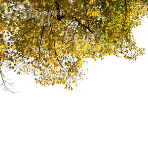 cut out tree branch with yellow leaves