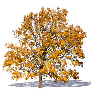 cut out big maple with yellow autumn leaves