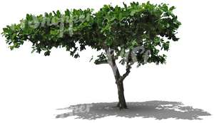 cut out deciduous tropical tree