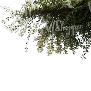 backlit branch with white blossoms