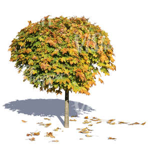 cut out small maple tree with fallen leaves